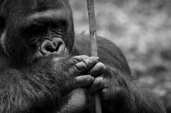 Männlicher Gorilla, der Steuerknüppel anhält Stockbilder
