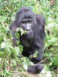 Männlicher Gorilla im Dschungel stockfotos