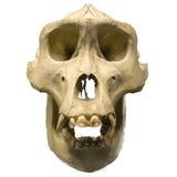 Männlicher Gorillaschädel lokalisiert auf Weiß Stockfotografie