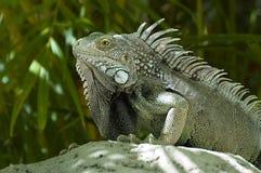 Männlicher grüner Leguan Stockfoto