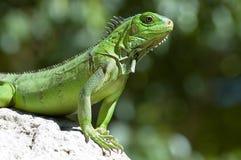 Männlicher grüner Leguan stockbild