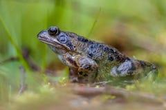 Männlicher Grasfrosch Stockfoto