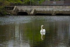 Männlicher Höckerschwan, der seitlich auf Teich durch Brücke schaut Lizenzfreie Stockbilder