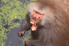 Männlicher hamadryas Pavian, der Zähne zeigt Lizenzfreie Stockfotografie