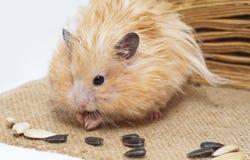 Männlicher Hamster, der Sonnenblumensamen isst Lizenzfreie Stockfotografie
