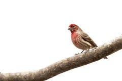 Männlicher Haus-Finkvogel auf Glied lizenzfreie stockfotos