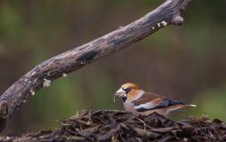 Männlicher Hawfinch, der auf Samen einzieht Stockbild