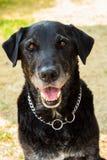m?nnlicher Hund der Misch-Zucht in seinem Erwachsensein lizenzfreies stockfoto