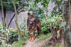 Männlicher iberischer Wolf Lizenzfreies Stockbild