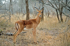 Männlicher Impala Lizenzfreie Stockfotografie