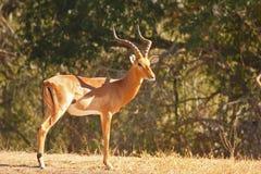 Männlicher Impala Lizenzfreie Stockfotos