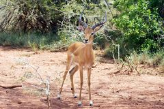 Männlicher Impala (Aepyceros melampus) Lizenzfreie Stockbilder