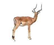Männlicher Impala getrennt Lizenzfreies Stockfoto
