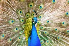 Männlicher indischer Peafowl Lizenzfreies Stockfoto