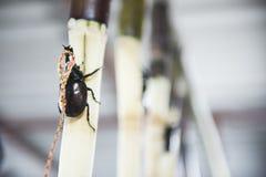 Männlicher kämpfender Käfer auf Zuckerrohr Bereiten Sie sich für Kampf in den spielenden Tieren vor Kämpfender Käfer ist berühmte stockbild