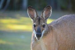 Männlicher Känguru Lizenzfreie Stockfotografie
