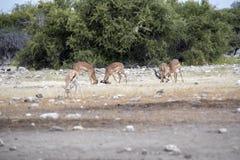 Männlicher Kampf der Impala, Aepyceros melampus, Nationalpark Etosha, Namibia Lizenzfreie Stockfotografie