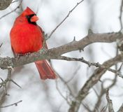 Männlicher Kardinal Stockfoto