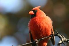 Männlicher Kardinal Lizenzfreies Stockbild