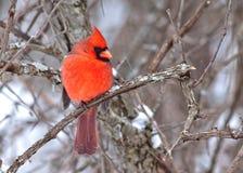 Männlicher Kardinal stockfotografie