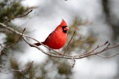 Männlicher Kardinal lizenzfreie stockfotos