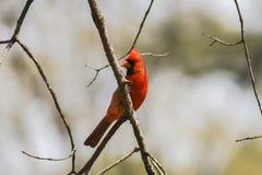 Männlicher Kardinal 2 Lizenzfreie Stockbilder