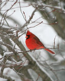 Männlicher Kardinal im Schnee Stockfotos
