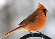 Männlicher Kardinal im Winter Stockfoto
