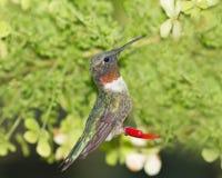 Männlicher karminroter Kehle-Kolibri an einer Zufuhr Lizenzfreie Stockbilder