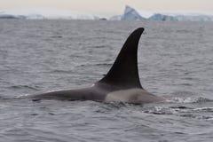 Männlicher Killerwal, der an einem bewölkten Tag in der Antarktis schwimmt Stockfotos