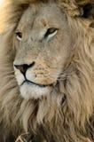 Männlicher Löwe. Stockfoto