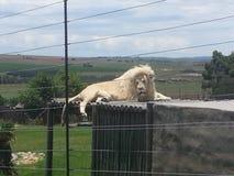 Männlicher Löwe Stockbild