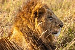 Männlicher Löwe Stockbilder