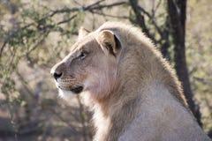 Männlicher Löwe Lizenzfreie Stockfotos