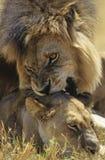 Männlicher Löwe-beißende Löwin auf Savanne Stockfotografie