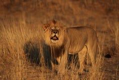 Männlicher Löwe, der 3 brüllt Lizenzfreies Stockbild