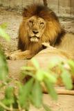 Männlicher Löwe, der auf dem Boden sitzt Stockbild