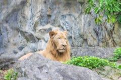 Männlicher Löwe, der auf den Boden, Felsenwand-Musterhintergrund legt stockfotografie