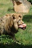 Männlicher Löwe, der auf ein Stück Fleisch einzieht lizenzfreie stockbilder