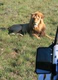 Männlicher Löwe, der auf grünem Gras in Südafrika mit Sonnenuntergangseitenbeleuchtung mit Seitenspiegel des Fotosafarifahrze lizenzfreie stockbilder