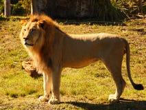 Männlicher Löwe, der auf Seite steht Stockfoto
