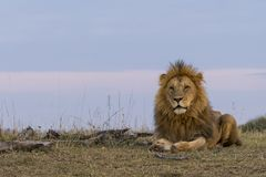 Männlicher Löwe an der Dämmerung Lizenzfreie Stockbilder