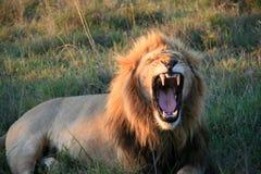 Männlicher Löwe, der hinten steht und die Frau liegt auf Gras in Südafrika leckt stockfoto