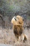 Männlicher Löwe, der Mähne rüttelt Lizenzfreie Stockfotografie