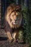 Männlicher Löwe, der in Richtung zur Kamera läuft Stockbilder