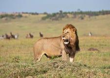 Männlicher Löwe in der Savanne in Kenia lizenzfreies stockbild