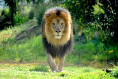 Männlicher Löwe, der sein Material stolziert und seinen Stolz schützt lizenzfreie stockfotos