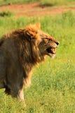 Männlicher Löwe, der seine Zähne entblößt lizenzfreie stockbilder