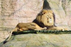 Männlicher Löwe, der sich hinlegt Lizenzfreie Stockfotos