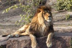 Männlicher Löwe, der sich hinlegt Stockfoto
